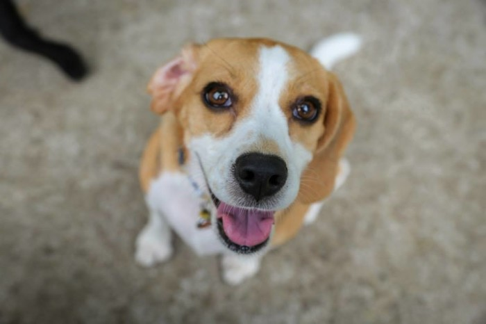 Lele the beagle