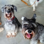 Up For Paws clients Trixie and Sophie the schnauzers!